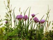 CSIRO_ScienceImage_3093_Chives_in_flower