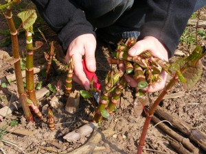 Andy Hamilton cutting Japanese knotweed