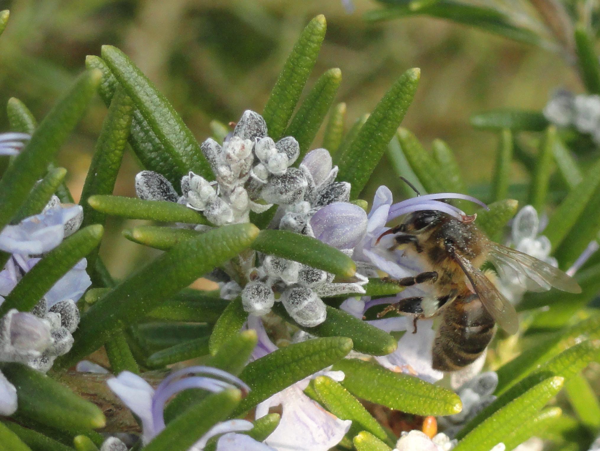 Bee Rosemary2
