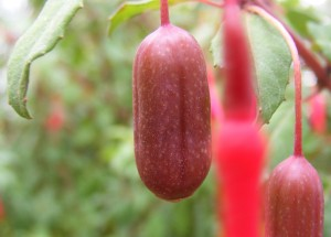 Fuchsia berries make for an interesting snack, some are better than others!
