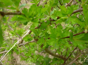 The first new leaves of hawthorn are edible and delicious