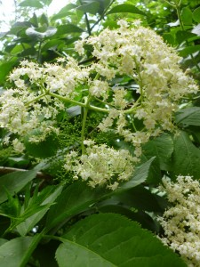 Elderflower bloom