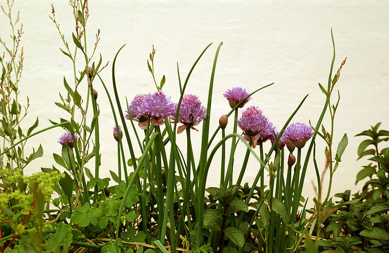 CSIRO_ScienceImage_3093_Chives_in_flower