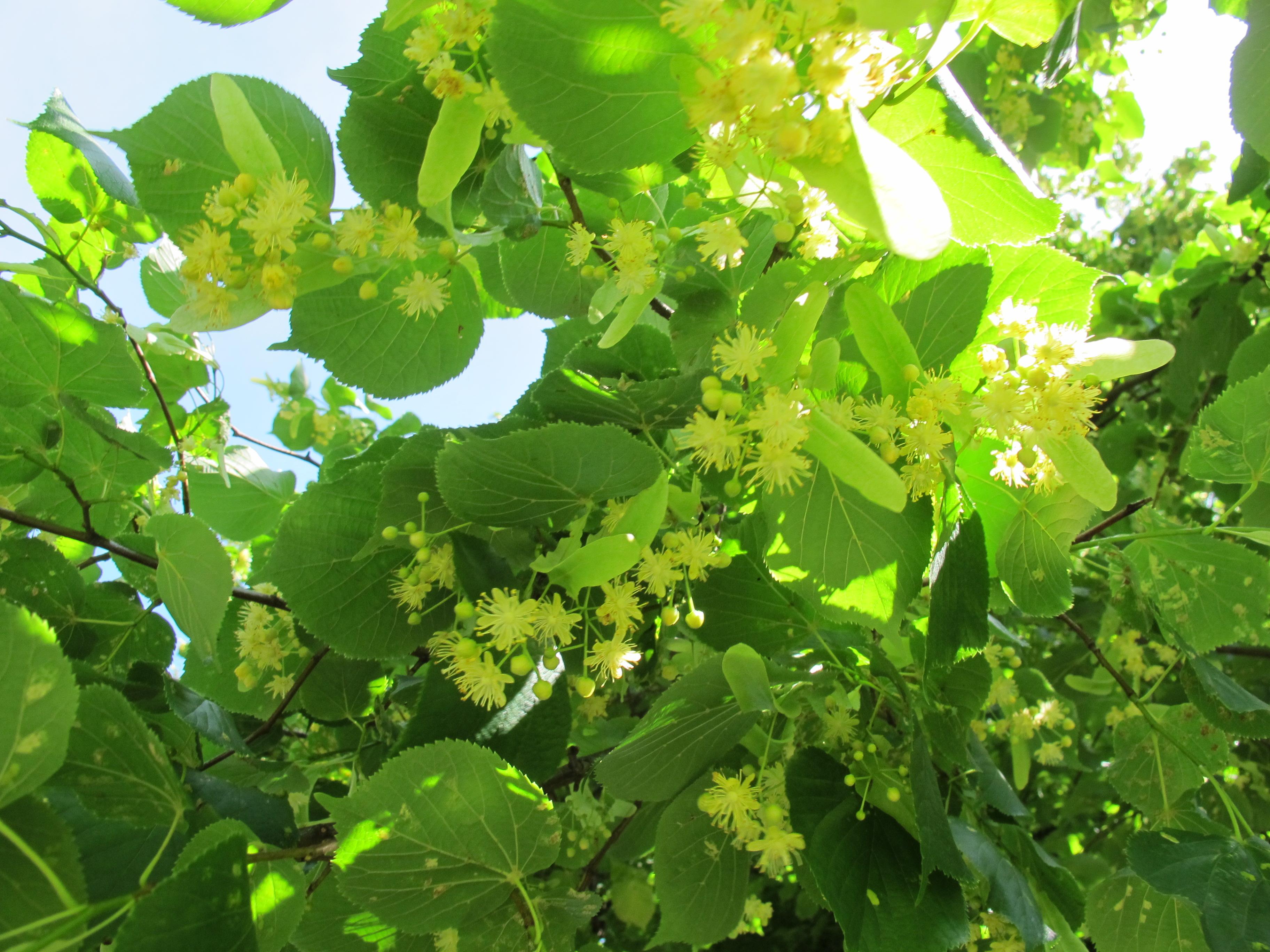 more lime blossom