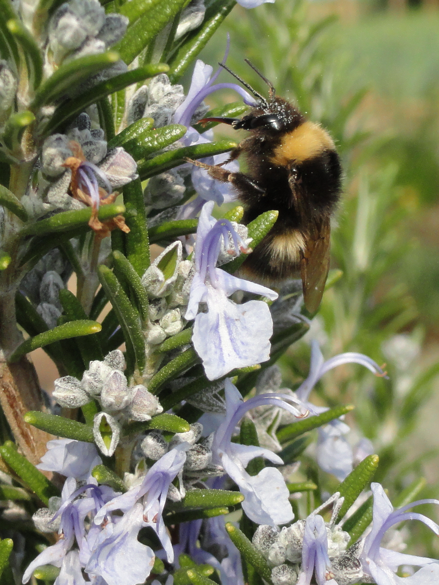 A bee on rosemary