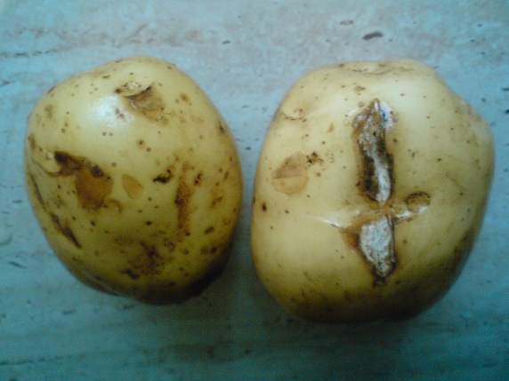 blight on potatoes